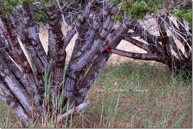 Cardinal_Cedars