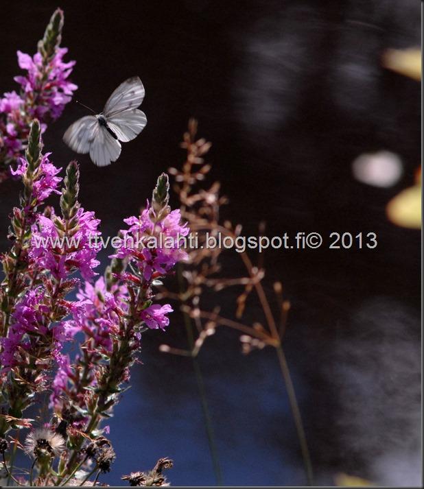 perhosia 091