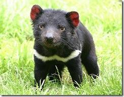 Tasmaniadevil