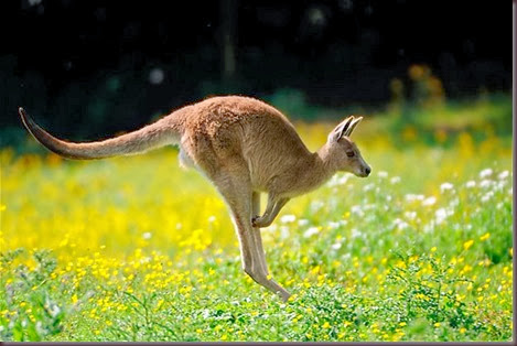 Amazing Animal Pictures Kangaroo (11)