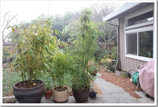 111218_by_potted_bamboos