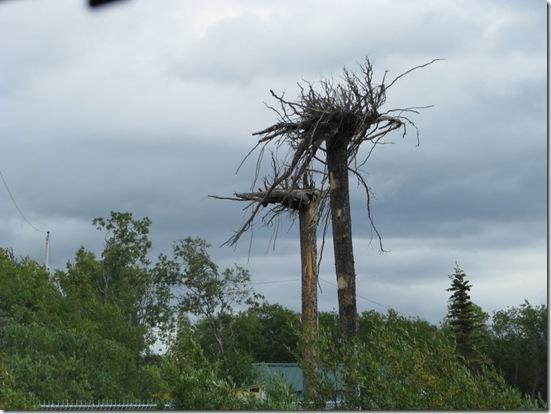alaska bigfoot trees