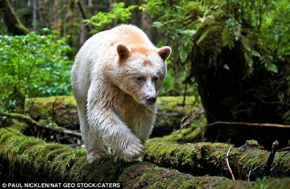 Although this looks like it is a polar bear which has somehow found itself in a forest, it is actually an extremely rare 'white' black bear