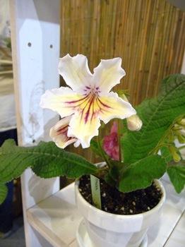 033 korr Streptocarpus Inca Daniel Grankvist