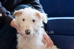 small_Bedlington-Terrier-Dogs-499