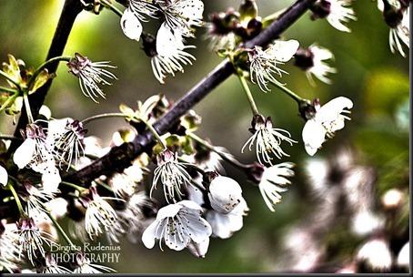 blom_20120511_cherry