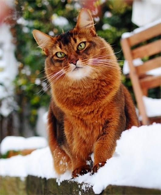 shikarnyj-korichnevyj-kot-v-snegu