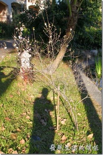 花蓮-理想大地渡假村。在郁李花前拍一下自己的影子,代表自己到此一遊。