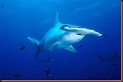 Tiburon martillo Comun