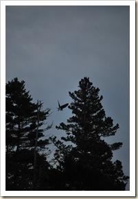 osprey flying again