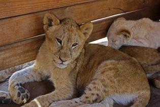 Pretty Lion Cub, Lion Park Johannesburg