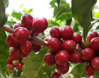 Coffea-arábica-e-Coffea-canephora
