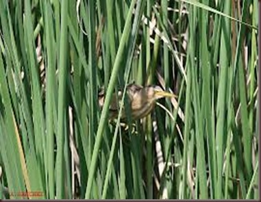 Amazing Pictures of Animals photo Nature exotic funny incredibel Zoo,bird, Little Bittern, Alex (3)