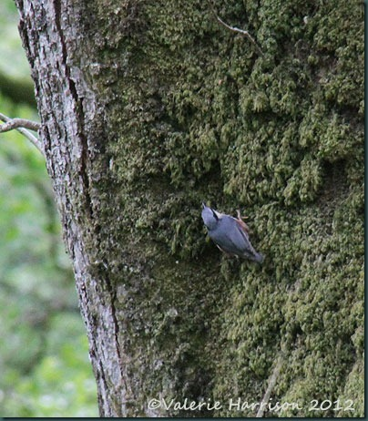 46-nuthatch