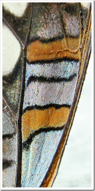 110808_California-sister-(Adelpha-bredowii-californica)_closeup