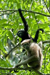 Amazing Pictures of Animals, Photo, Nature, Incredibel, Funny, Zoo, Gibbons, Hylobatidae, Primate, Mammals, Alex (15)