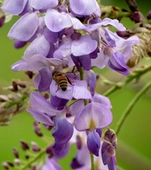 Bees And Raindrops On Our Wisteria