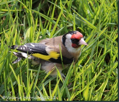 5 goldfinch