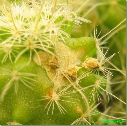 Stenocactus multicostatus-2011-11-22_00002IMG_7913