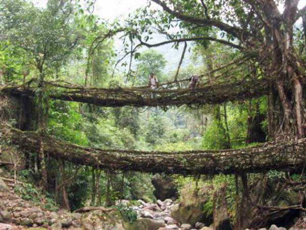 A Natural Root Bridge Across a Valley at Cherrapunji, India