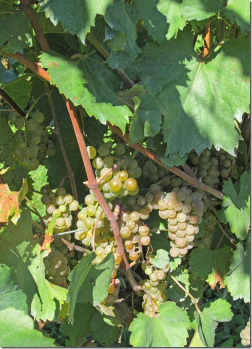 Closeup of Vignoles grape clusters