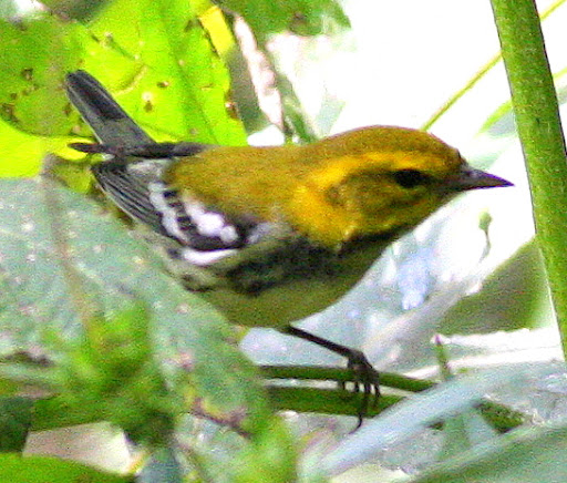 9-17-09, woods by our creek, female Black-throated Green Warbler, 1:45 p.m.