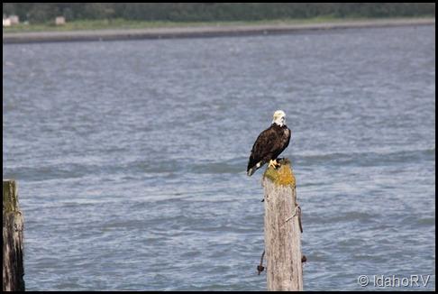 Eagle-on-Piling