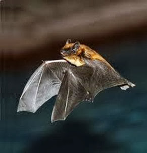 Amazing Pictures of Animals, Photo, Nature, Incredibel, Funny, Zoo, Common pipistrelle, Mammals, Alex (3)