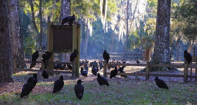 Vultures Manatee Springs