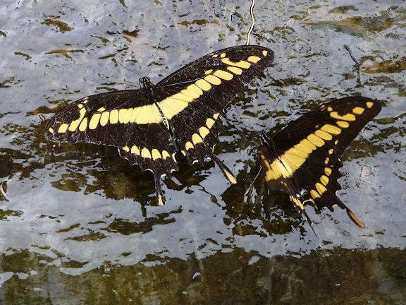 Papilio thoas cinyras MÉNÉTRIÉS, 1857. Rio Zongo (alt. 600 m). Bolivie, 27 janvier 2008. Photo : J. F. Christensen