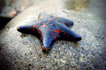 Amazing Pictures of Animals, Photo, Nature, Incredibel, Funny, Zoo, Starfish, Sea Stars, Asteroidea, Alex (10)