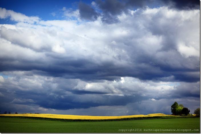 rzepakowe pola (7)