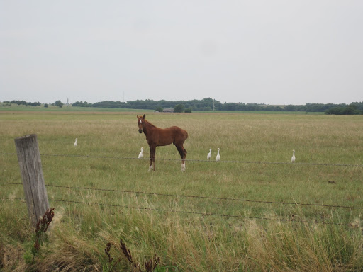 Young horse in a field of egrets, Cheyenne Bottoms.