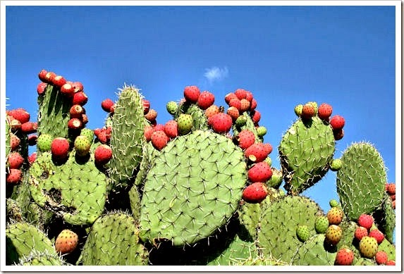 Prickly Pear Drink | Tunas photo