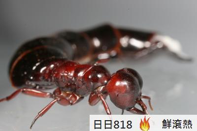 史前巨蟻 如蜂鳥大