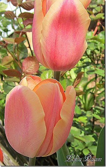 ApricotBeauty_Tulips