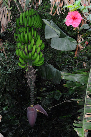 Flora Costa Rica: Floare de banana