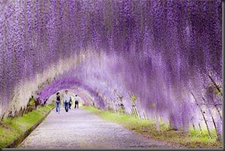 Wisteria Flower Tunnel di Jepang2