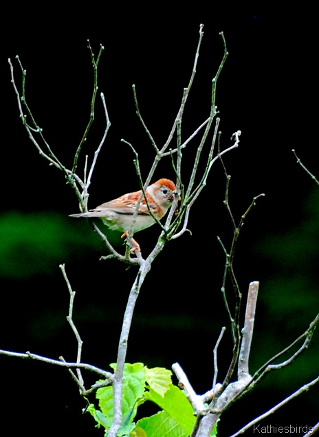 7. field sparrow-kab