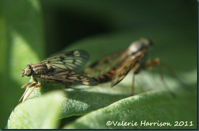 scorpion-flies-mating