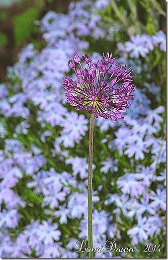 Copy (1) of Allium Persian Blue