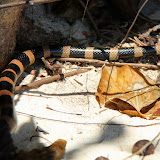 Yellow Tipped Sea Snake Slithering On The Beach - Noumea, New Caledonia