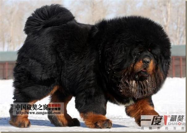 Dogue du Tibet ou Mastiff Tibétain 7