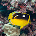 Fourspot Butterflyfish - Photo (c) DavidR.808, some rights reserved (CC BY-NC-SA)