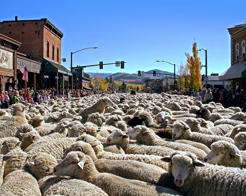 trailing-of-the-sheep-10
