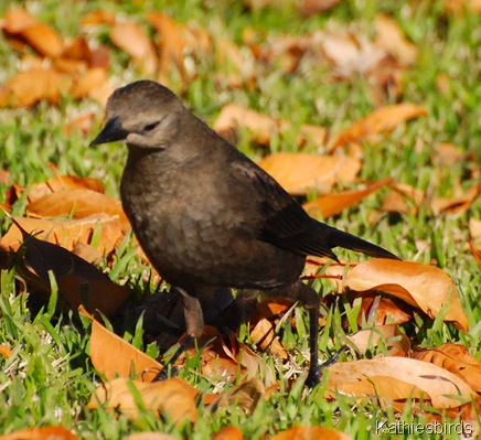 4. brewer's blackbird-kab
