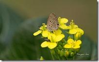 Dark Cerulean Butterfly on yellow flowers