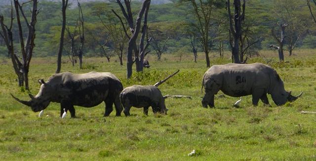 F Rhinos