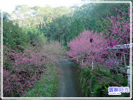 古坑-沐林生態農場 位於樟湖的賞櫻地點