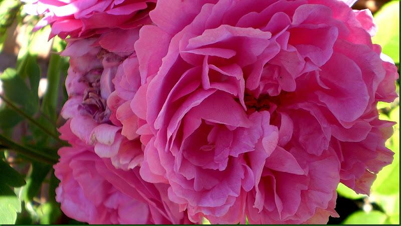 humedad,rosas 032